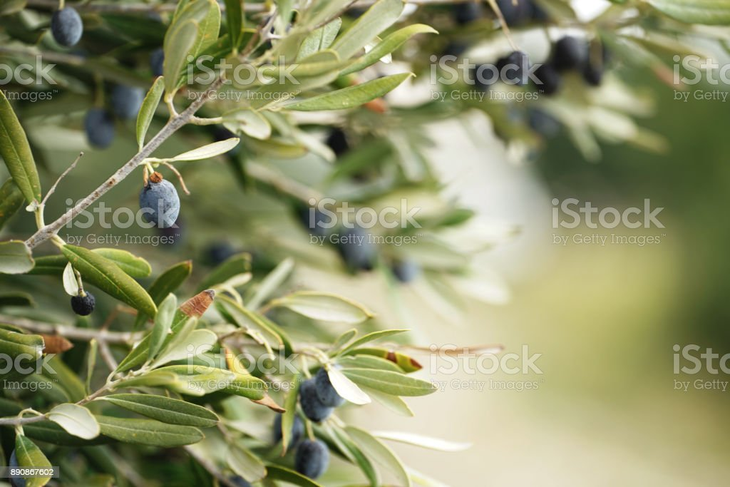 Olives on olive tree stock photo