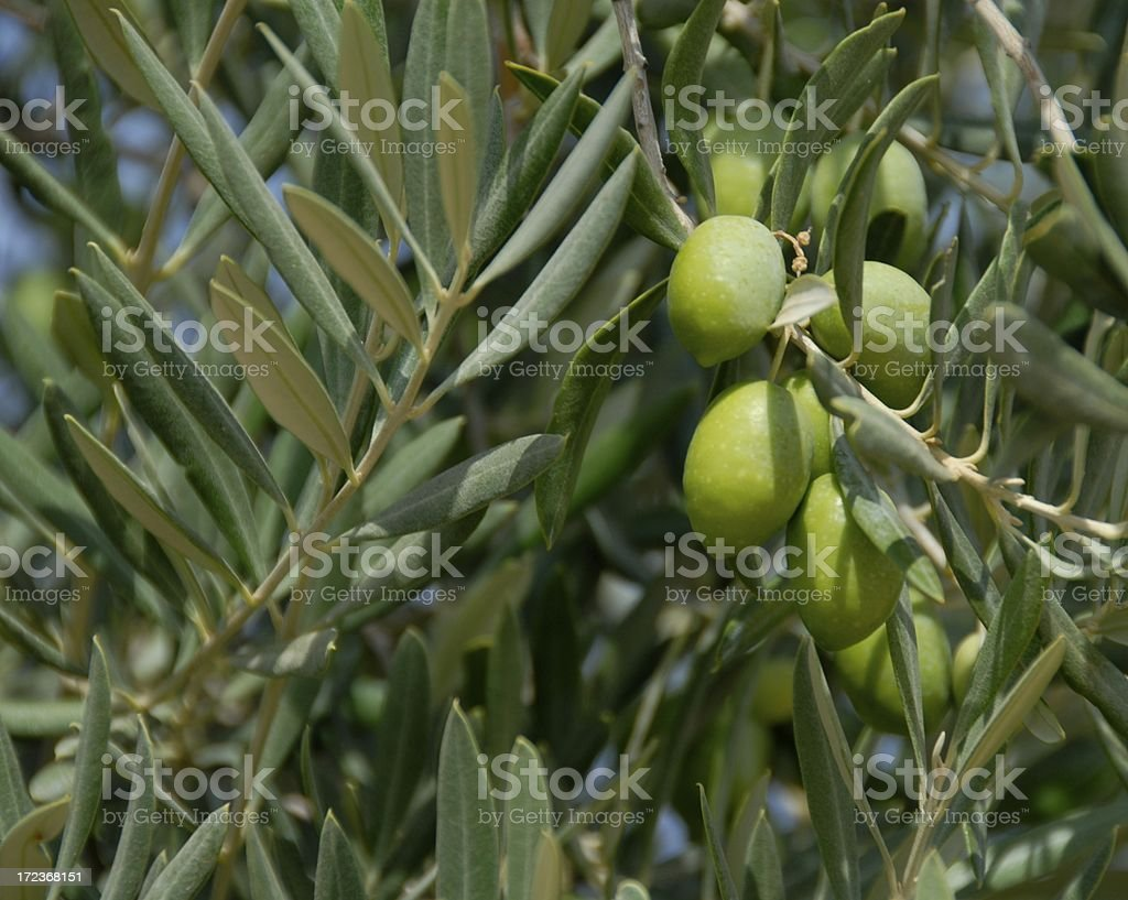 Olives on the Branch royalty-free stock photo