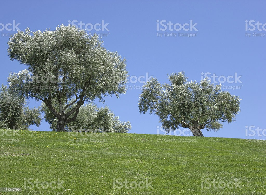 Olives on the meadow stock photo