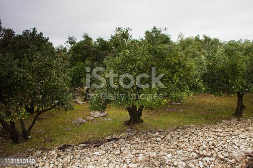 Olives and Fig Orchard in Croatia, Europe.