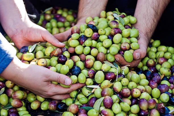 Olive scegliere in Sicilia - foto stock