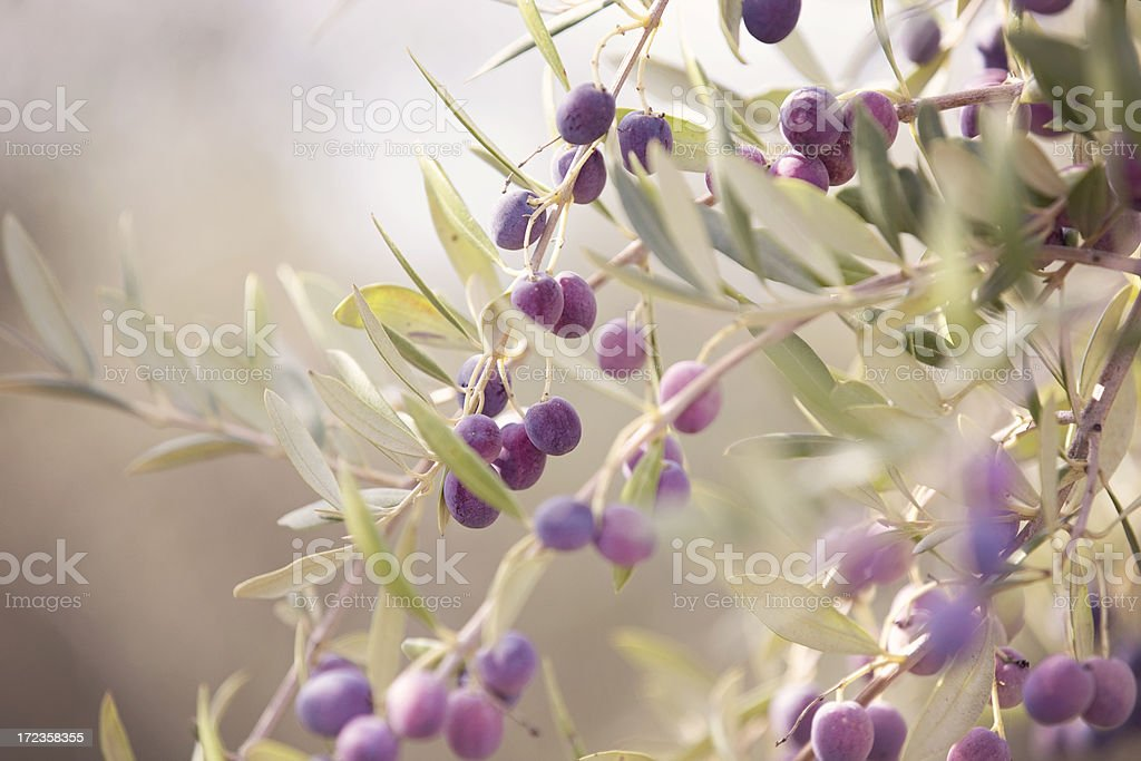 Olives Ready for Harvest royalty-free stock photo