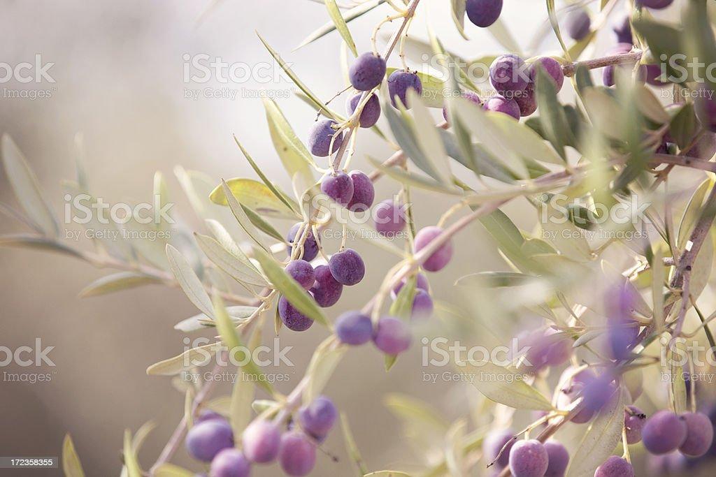 Aceitunas listo para Harvest foto de stock libre de derechos