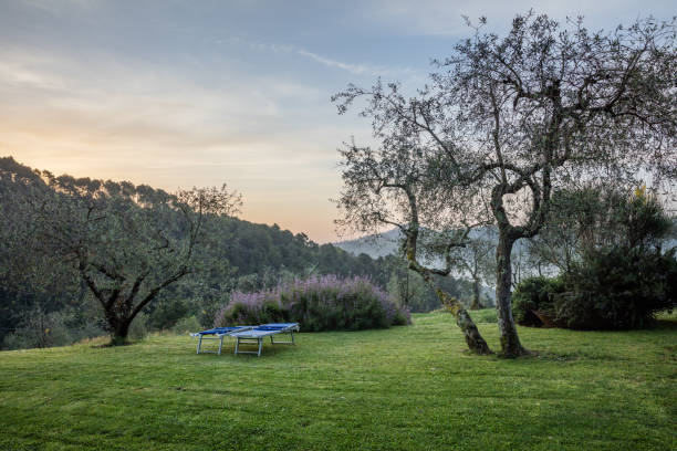 Olives trees on hill in Toscany in the sunset stock photo