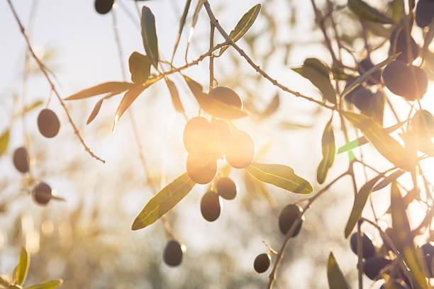 olive in autunno sole - ramoscello d'ulivo foto e immagini stock