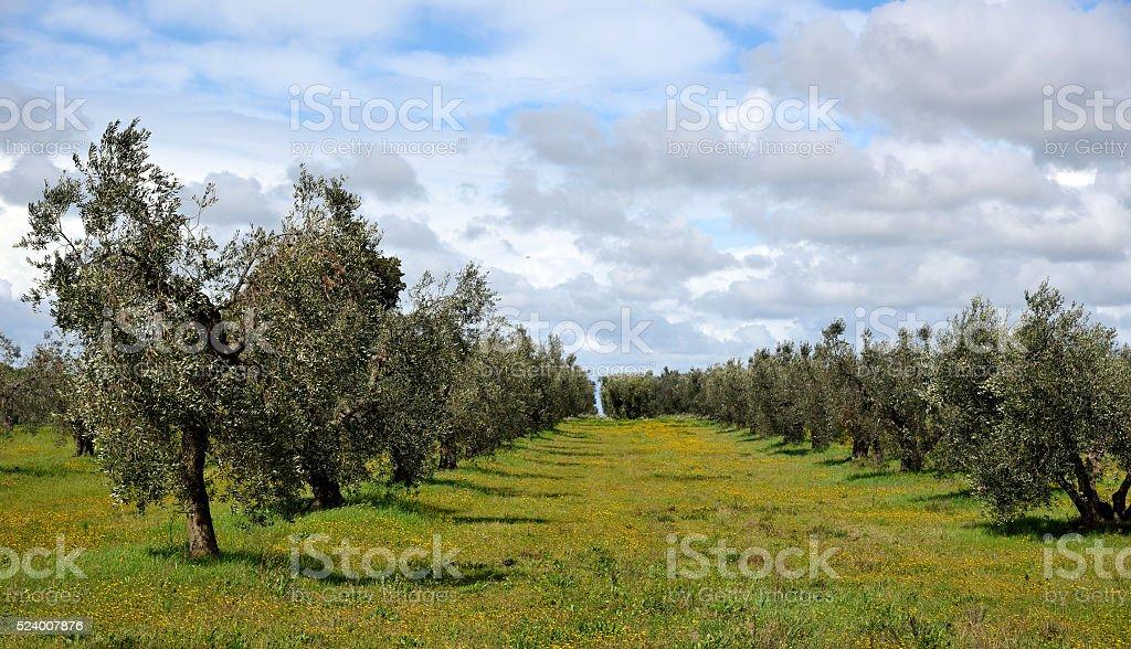 oliveto in primavera stock photo