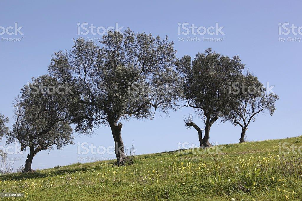 olivetree royalty-free stock photo