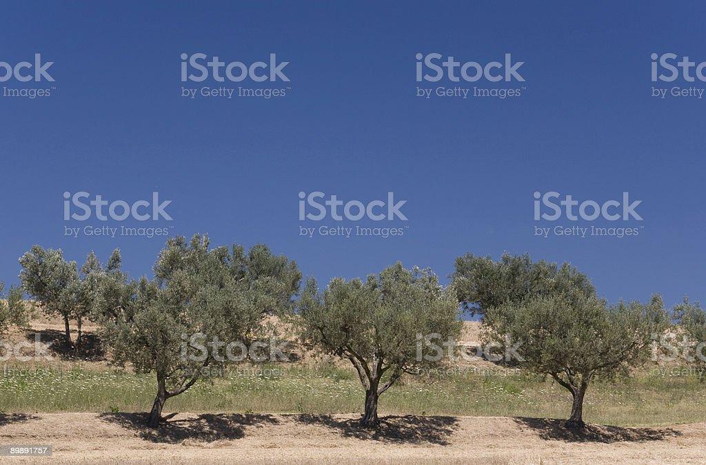 oliveyard foto de stock libre de derechos