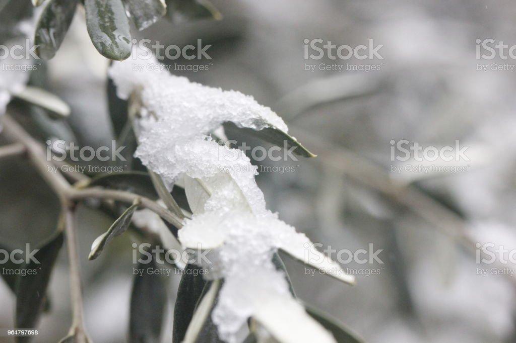 olivo con neve royalty-free stock photo