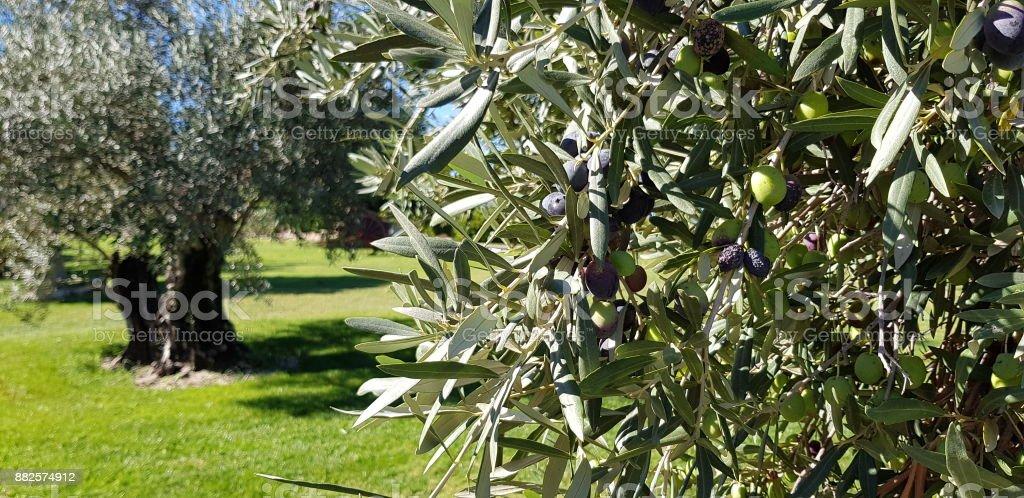 campo de olivos en el - foto de stock