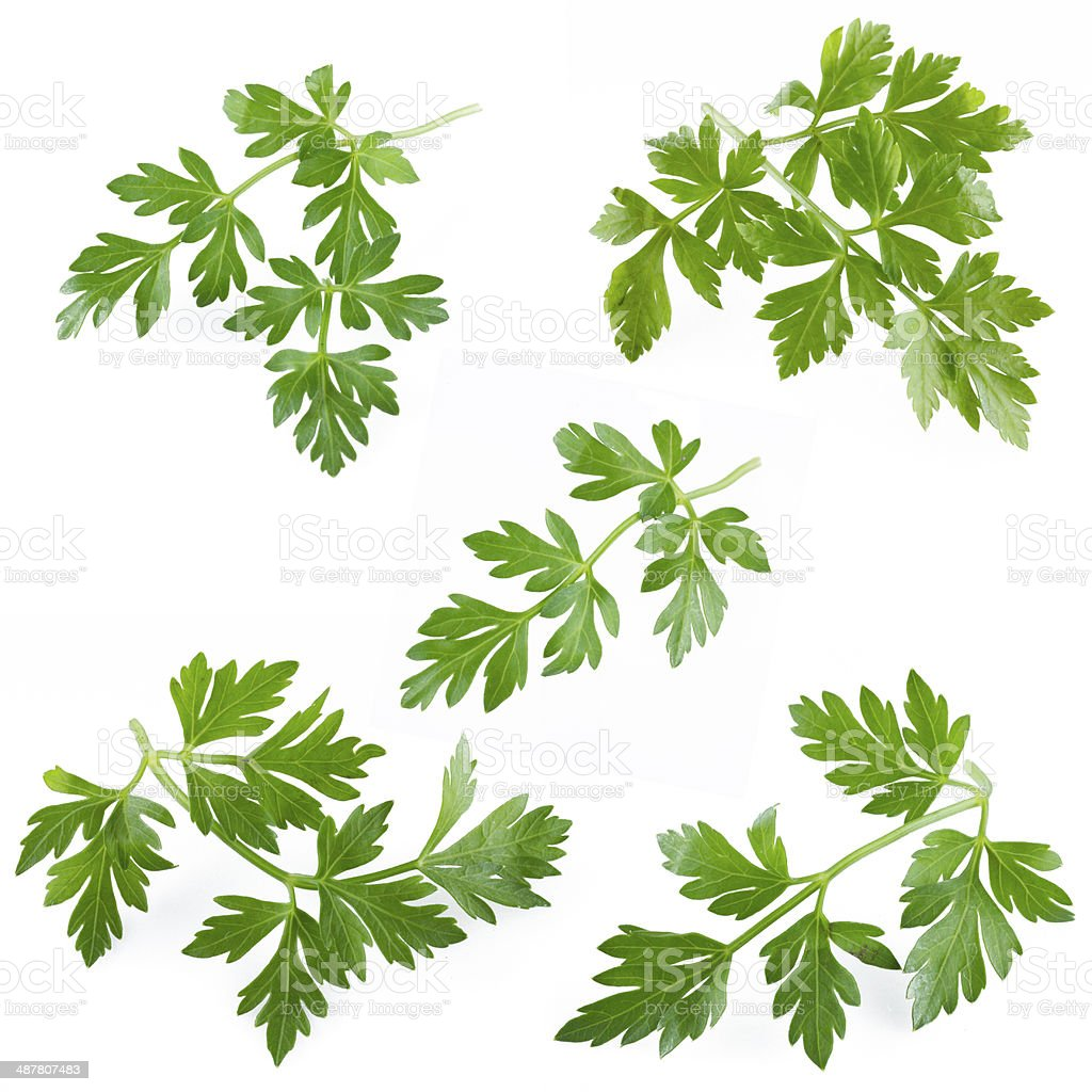 Сollection of fresh parsley on white background. Isolated over white stock photo