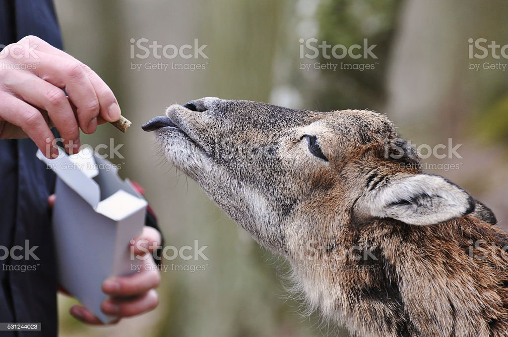 olt goat stock photo