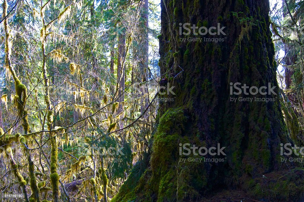 Olympic Ancient Red Cedar stock photo