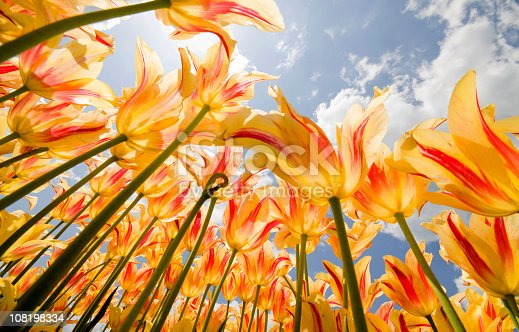 Olympic flame tulips from low angle view in the Spring. Click banner for other floral images: [url=http://www.istockphoto.com/my_lightbox_contents.php?lightboxID=4005262][img]http://rckirk.smugmug.com/photos/285727411_KkBTb-XL.jpg[/img][/url]