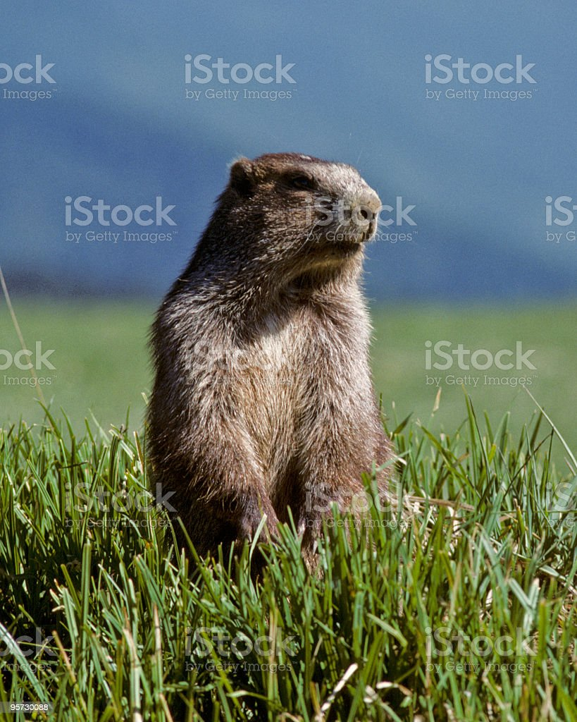 Olympic Marmot stock photo