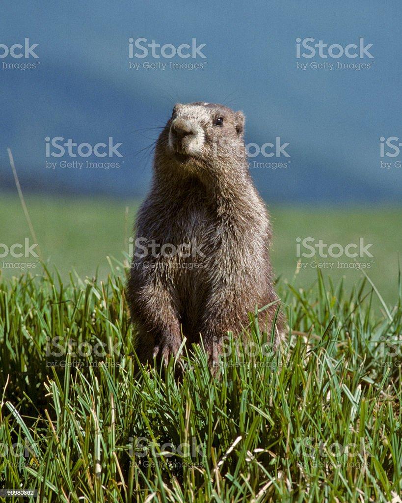 Olympic Marmot royalty-free stock photo