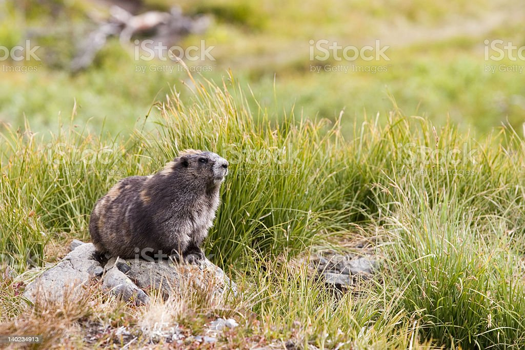 Olympic Marmot (Marmota olympus) sitting on a rock in grassland stock photo