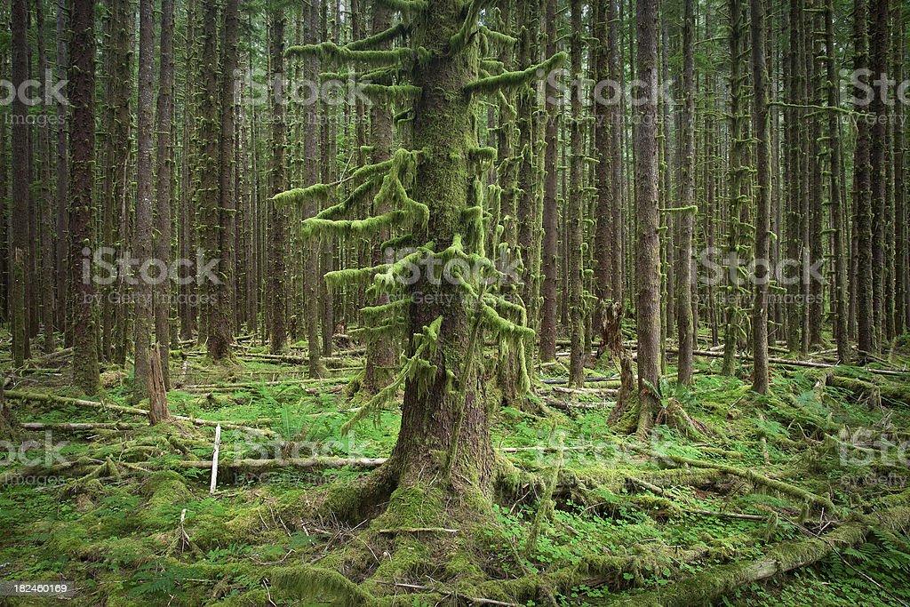 Parque nacional olímpico Hoh bosque de árboles Mossy foto de stock libre de derechos