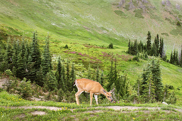 olympic national park - wildlife conservation stock photos and pictures