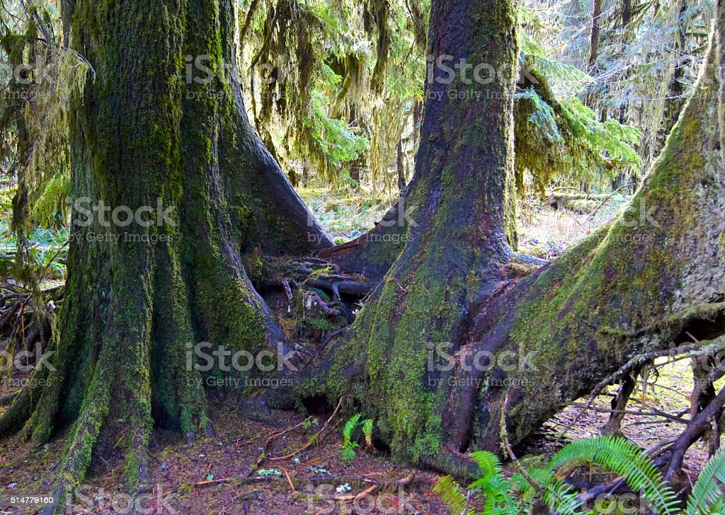 Olympic Wild Sitka Spruce stock photo