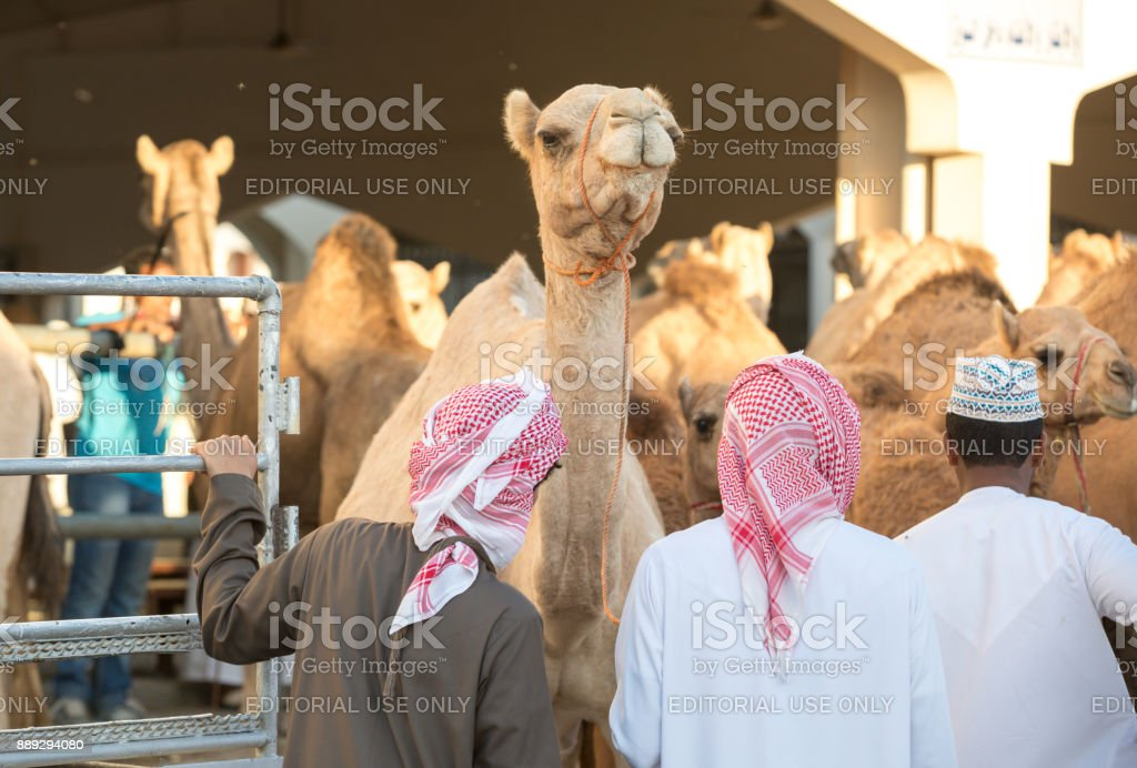 omani man walking with his camels to a market stock photo