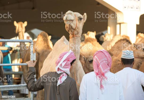 omani man walking with his camels to a market