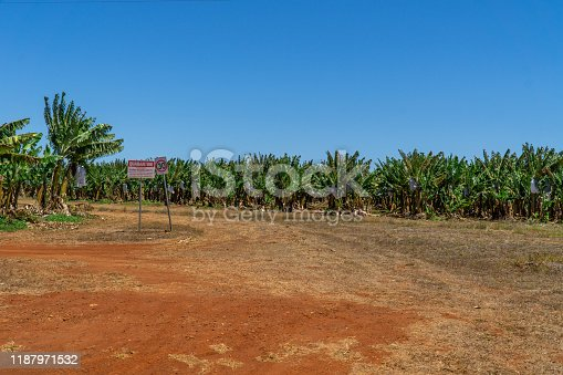 on a banana plantation in Australia, bananas are protected from Panama disease by plastic bags