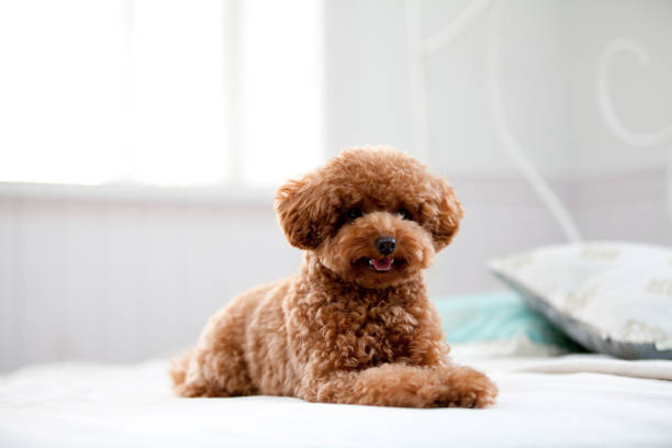 On a bed of iniquity to poodle On a bed of iniquity to poodle poodle stock pictures, royalty-free photos & images