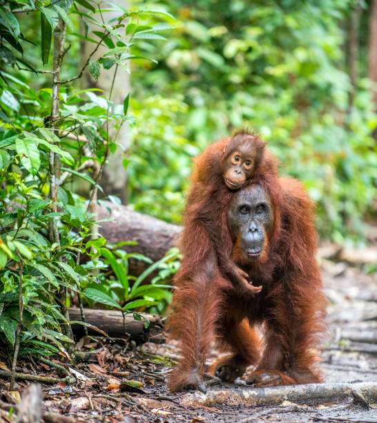 On a mum`s back. On a mum`s back. Cub of orangutan on mother`s back. Green rainforest. Natural habitat. Bornean orangutan (Pongo pygmaeus wurmbii) in the wild nature. Tropical Rainforest of Borneo Island. Indonesia orangutan stock pictures, royalty-free photos & images