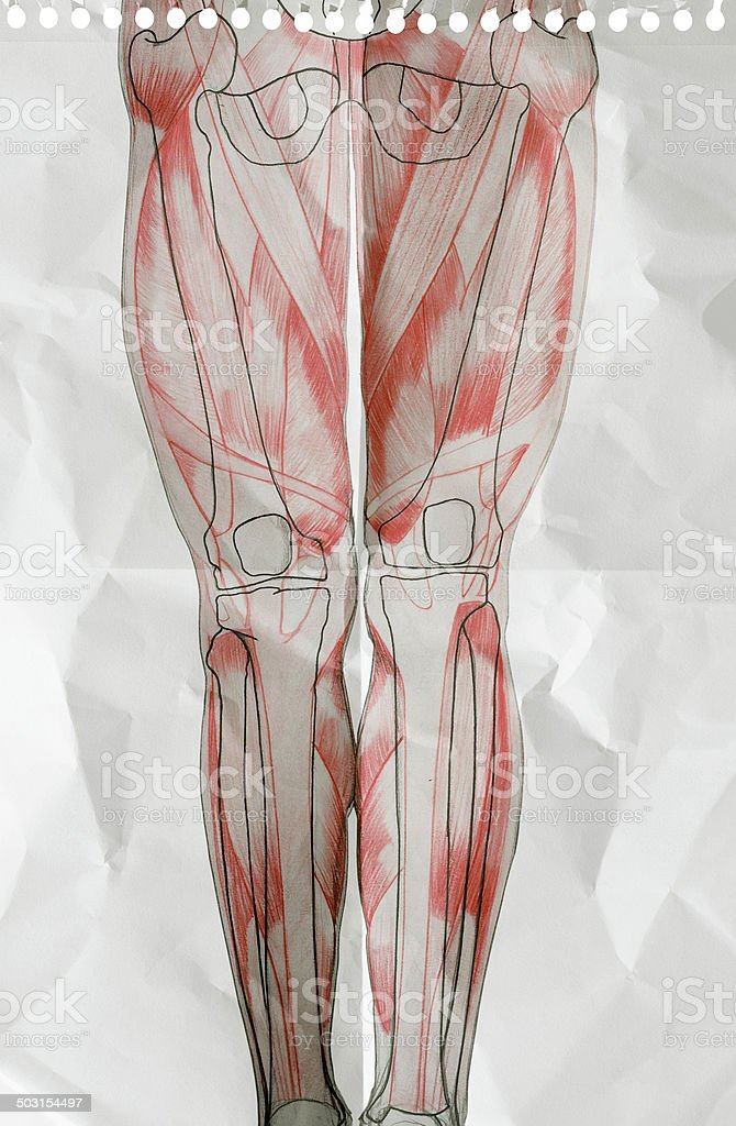 ANATOMY on a piece of paper : human legs stock photo