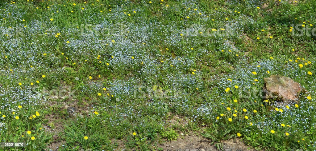 On a solar forest glade blue forget-me-nots and yellow dandelions grow. Spring May background royaltyfri bildbanksbilder