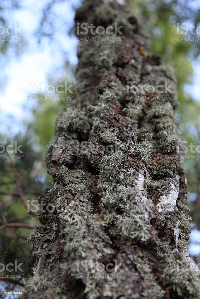 MOSS on a tree foto royalty-free