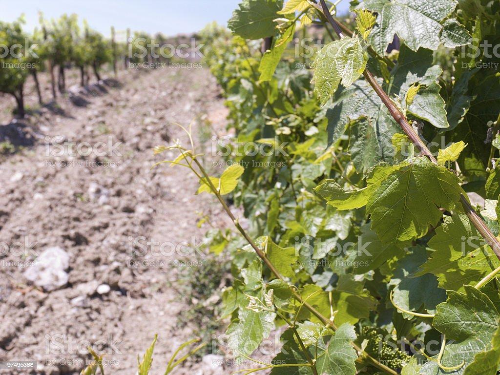On a vineyard royalty-free stock photo