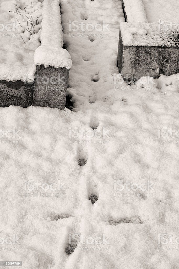 Fox paw prints in snow between graves stock photo