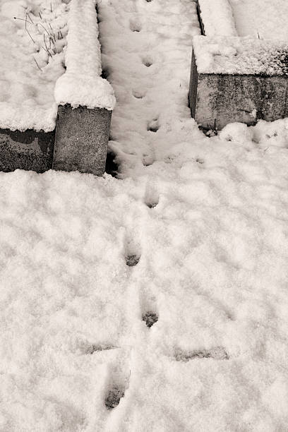 fox paw prints in snow between graves - whiteway fox stock photos and pictures