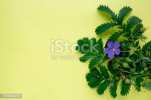 istock On a yellow background, the leaves of green grass lapchatki and a blue flower of meadow geranium 1315304731
