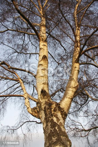 On account of its white / silver bark, perhaps one of the most attractive trees in winter. Also, the branches of silver birch trees end in a reddish profusion of twigs.