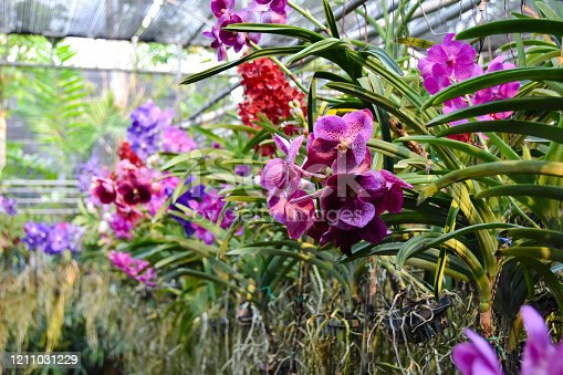 colorful orchids on a farm in Chiang Mai, Thailand