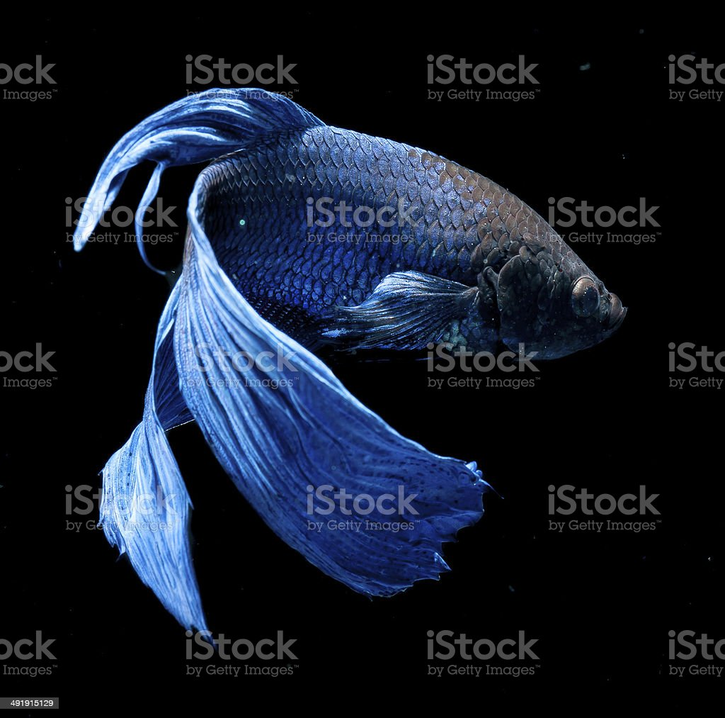 BETTA FISH on black background stock photo