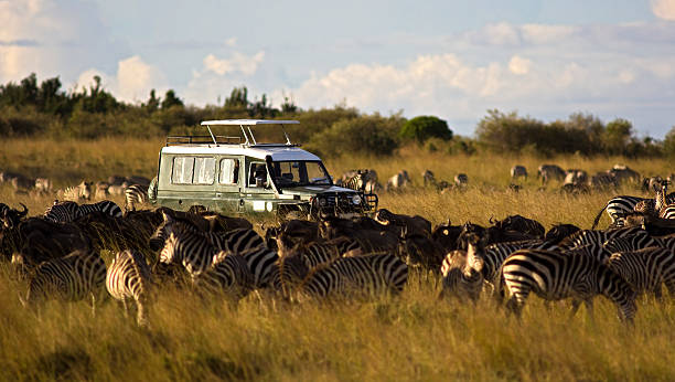 on safari - safari stock photos and pictures