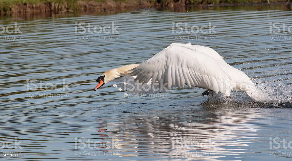 Flying attack by territorial mute swan stock photo