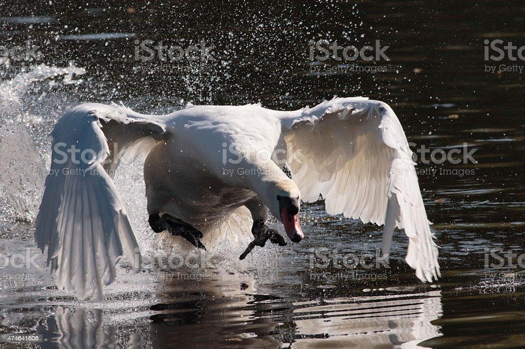 Flying swan attack Cygnus olor stock photo