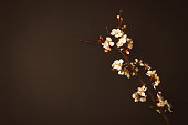 On the Black Background The Flowering Branch of Apricot