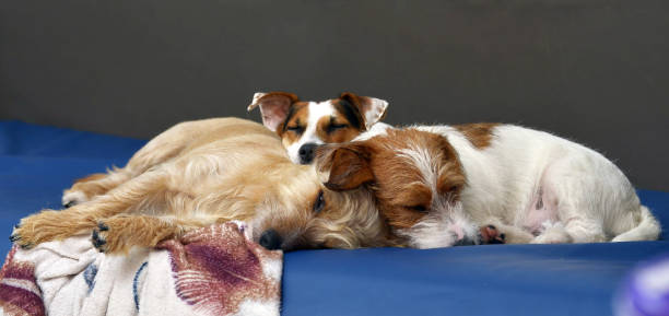 On the couch at home lies a couple of cuddly dogs, Jack Russell terrier.