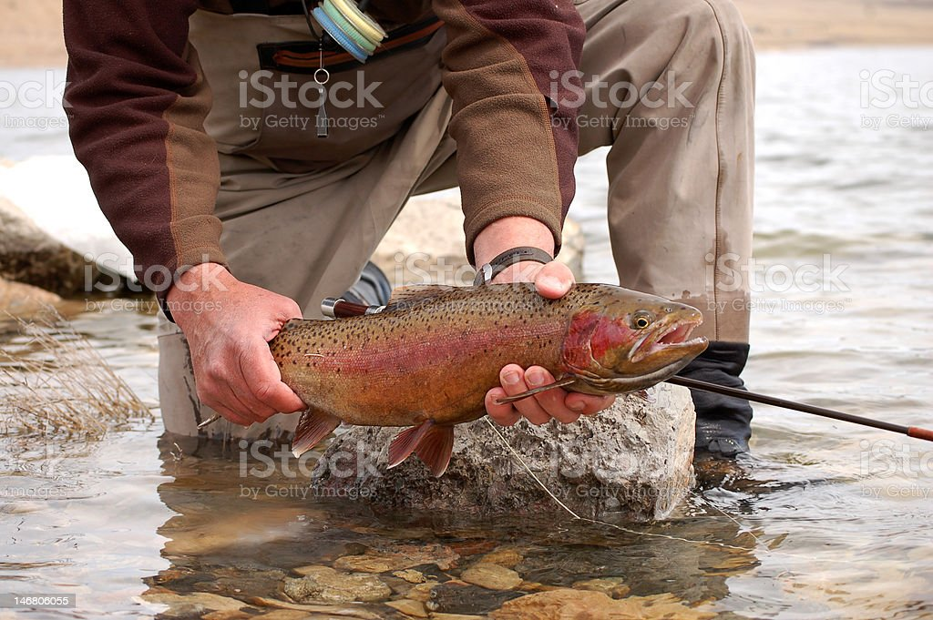 On the fly large rainbow trout stock photo