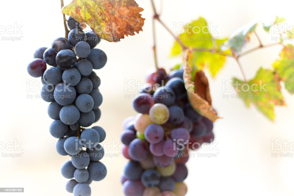 Two bunches of purple and multi-colored grapes and autumn leaves...