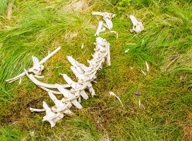 Çimenlerin üzerinde bir yırtıcı tarafından et yedikten sonra omurga ve diğer kemiklerin parçaları kaldı. stok fotoğrafı