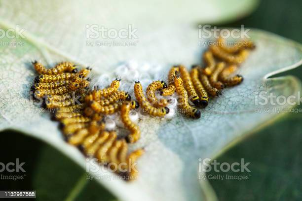 On the leaf hatched caterpillars picture id1132987588?b=1&k=6&m=1132987588&s=612x612&h=b yju 5jnuiftrud52tekxnkbzewz7bx6 degbagyg4=