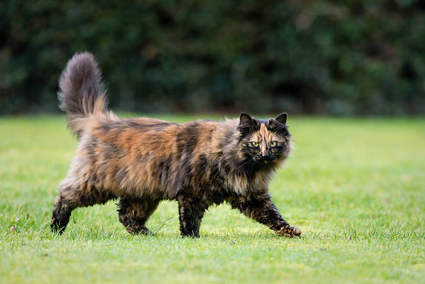 On the prowl Tabby / Tortoiseshell cat on the move tortoiseshell cat stock pictures, royalty-free photos & images