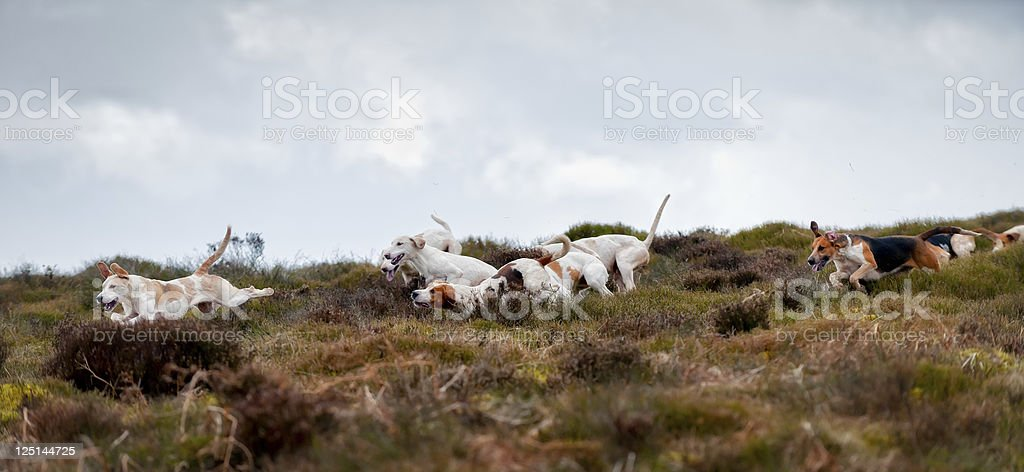 on the scent pack of foxhounds on the scent in rural england Activity Stock Photo